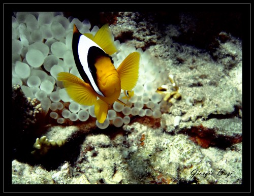Le mie foto mondo marino for Pesce pagliaccio foto